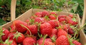 Increase in Producers of Strawberries in Semberija in BiH